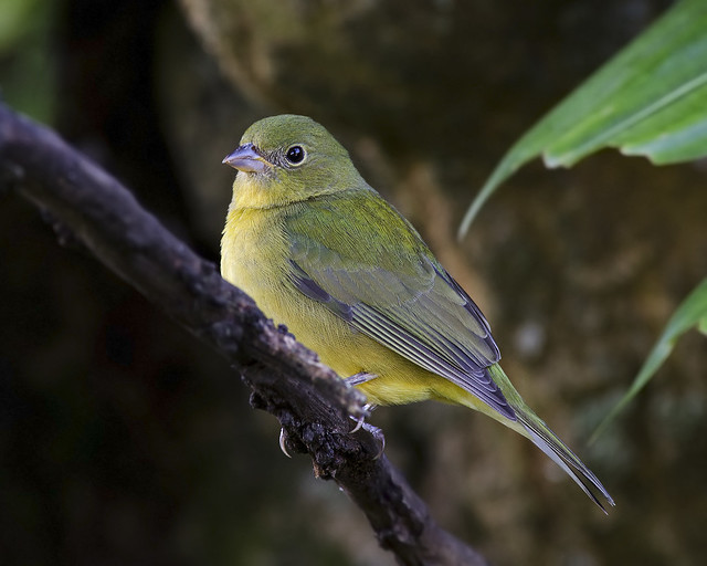 Juvenile painted bunting - photo#1