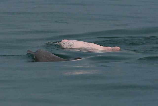 白海豚重要棲息環境遲遲未來公告。攝影:張樂群
