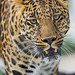 This leopard looks friendly!