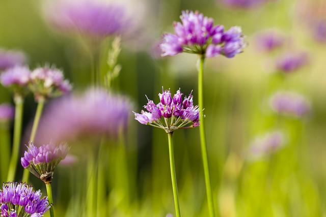 Flowers - Jura - Poland