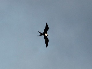 Magnificent Frigatebird, La Jolla Cove, CA, 10-18-12 | by AzureJay (Jay Keller Wildlife Documentation)