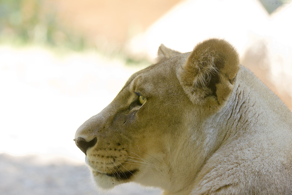 Lioness A Head From A African Lioness I Ve Seen At Zoo