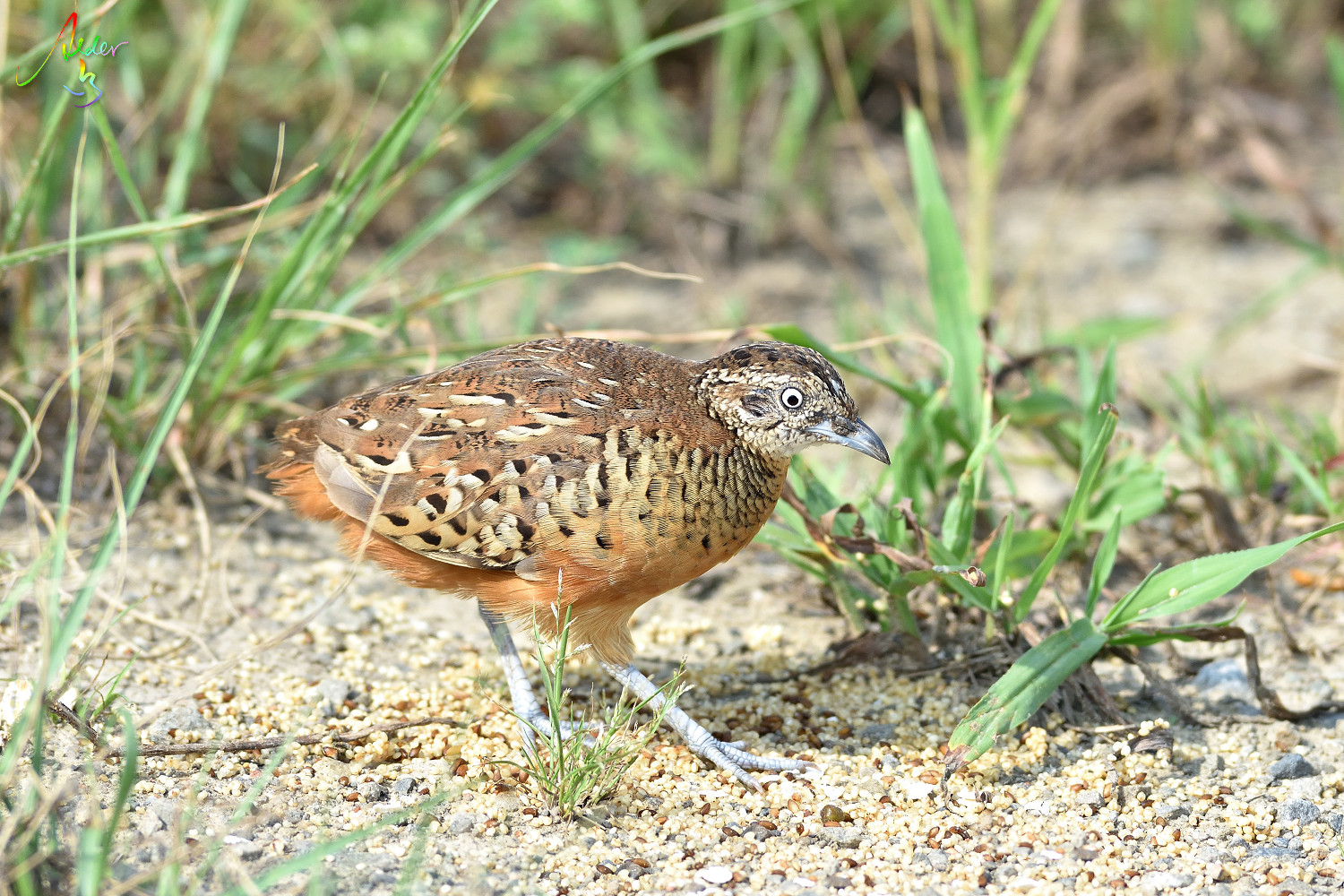 Barred_Butonquail_9367