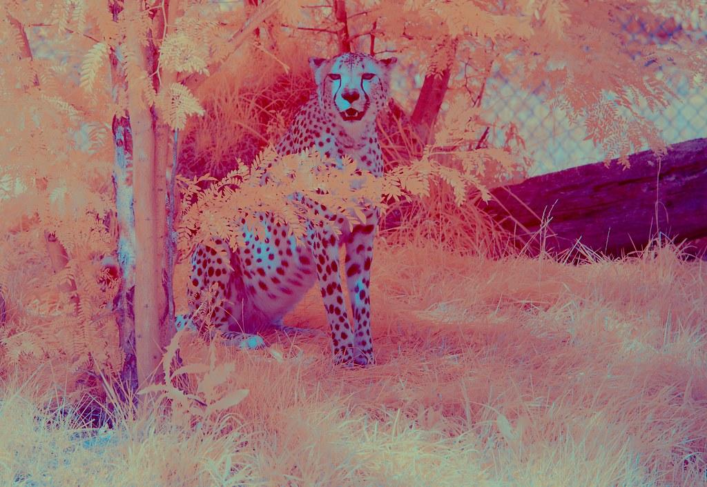 Cheetah_9