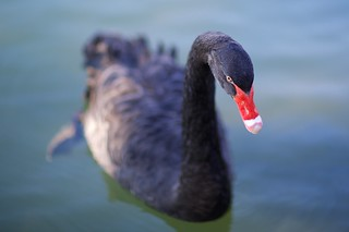 Black Swan | by Scott Cresswell