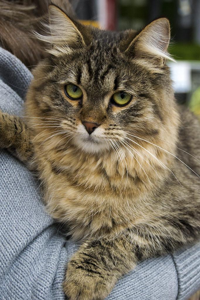 Gatita de ojos verdes atigrada gatita siberiana en el d for Verdecora torrelodones