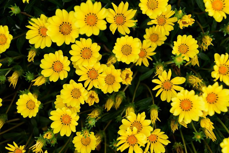 Flower of the roadside