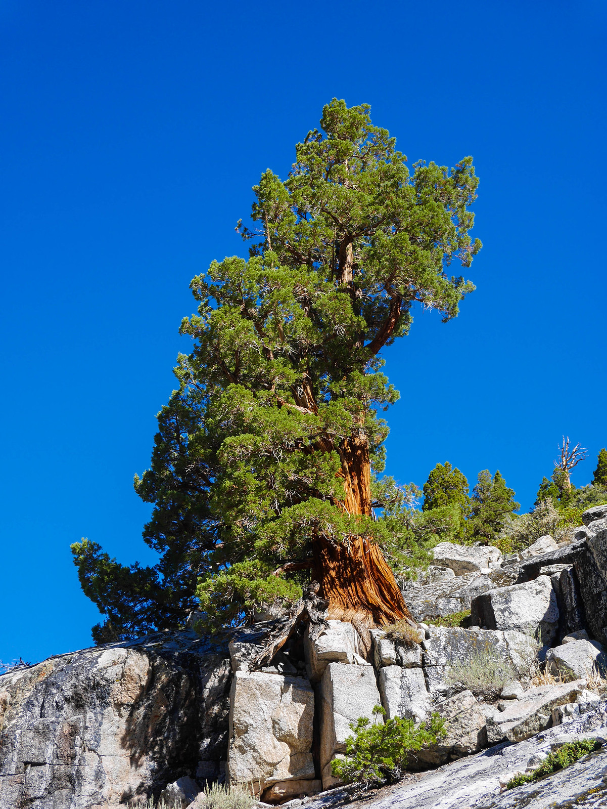 Amazing juniper growing out of a rock