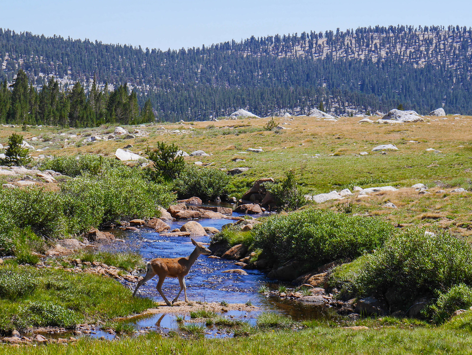 Deer on Wright's Creek in the Bighorn Plateau