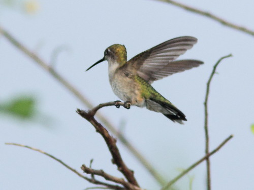 Ruby-throated Hummingbird 20121014 | by Kenneth Cole Schneider
