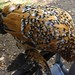 Mille Fleur d'Uccle bantam chicken