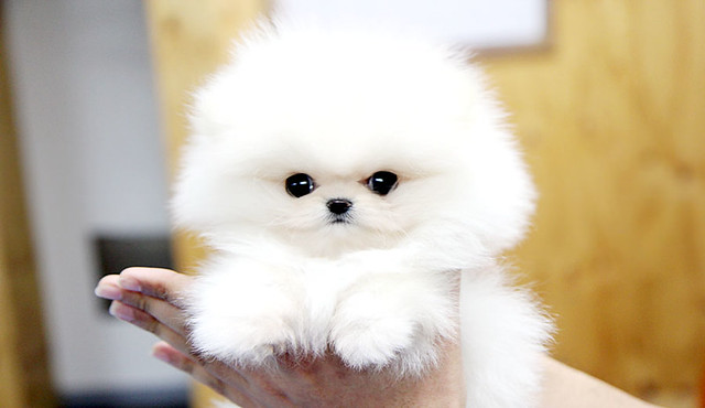 White Teacup Pomeranian Puppies Top quality teacup pomeranian