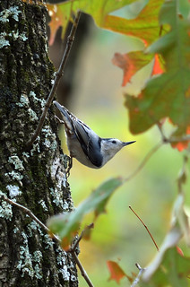 White-breasted Nuthatch Sitta carolensis | by Jeff Rose Photography
