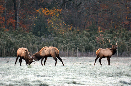 The Annual Elk Rut | by Jeff Rose Photography