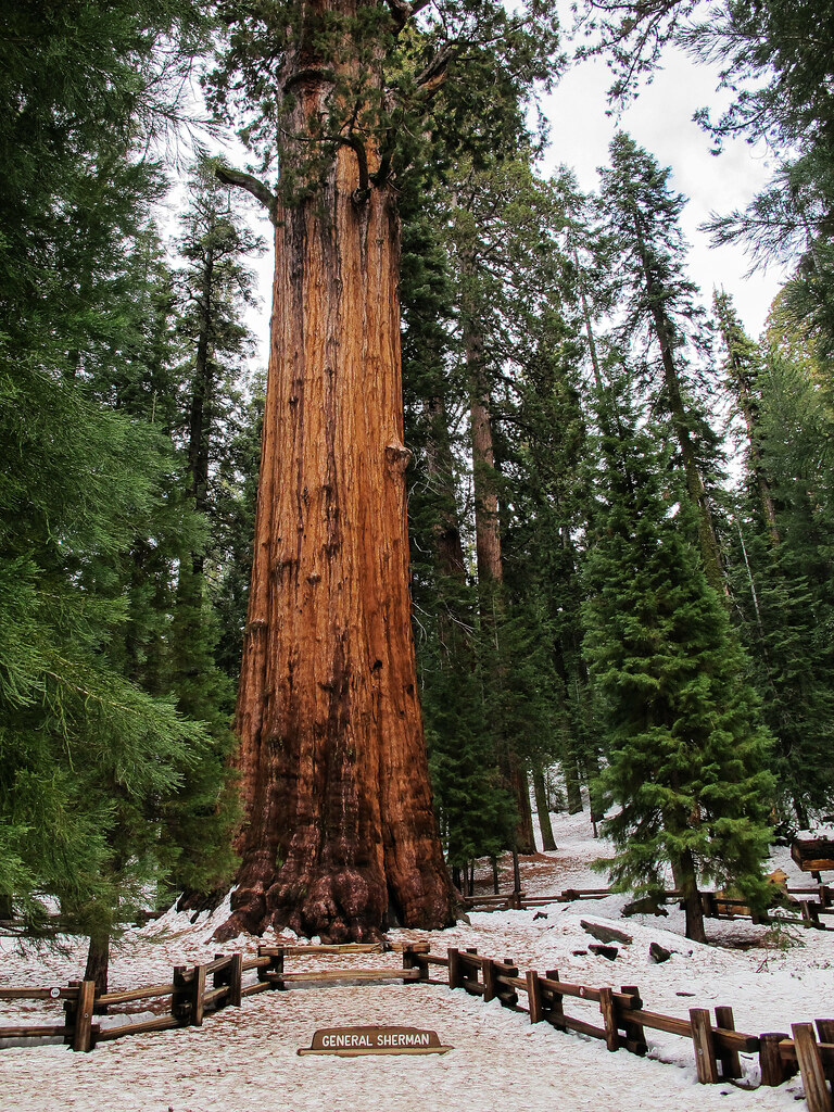 General Sherman Tree -...