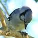 Blue Jay 20121016