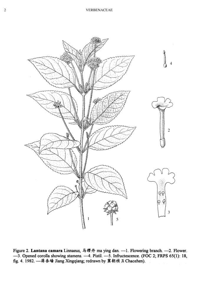 lantana camara  line drawing