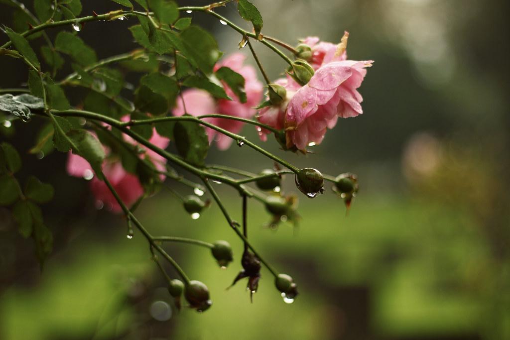 In The Garden Wet With Rain Van Morrison Explore Flickr