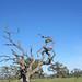 Doomed oak on Llano Rd, Sonoma