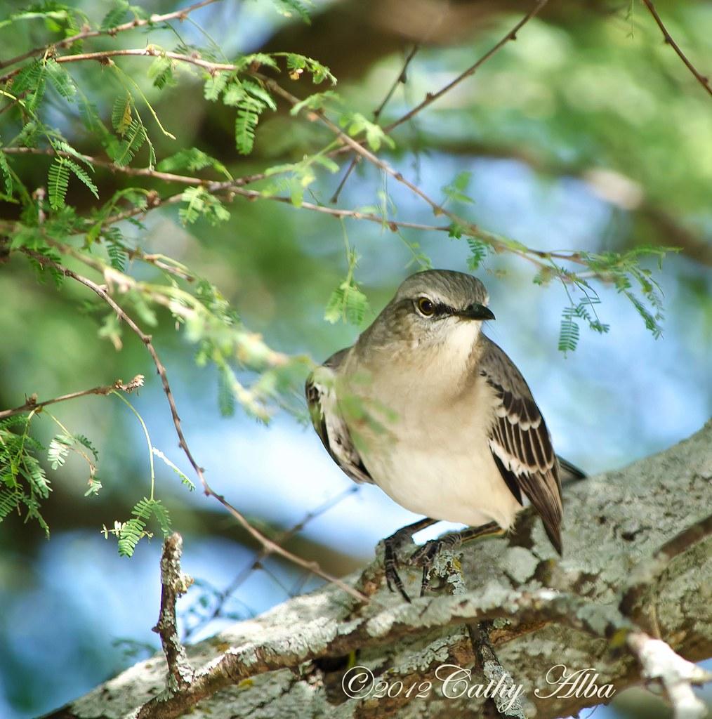 northern mockingbird texas state bird san antonio botani flickr