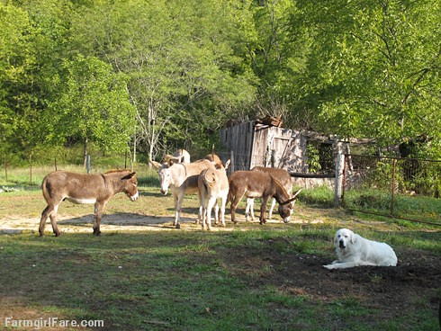 Daisy on donkey guard dog duty (8) - FarmgirlFare.com | by Farmgirl Susan