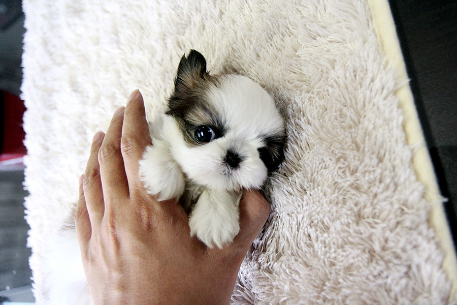 Adorable Teacup Shih Tzu Puppy This Puppy Is So Adorable A Flickr