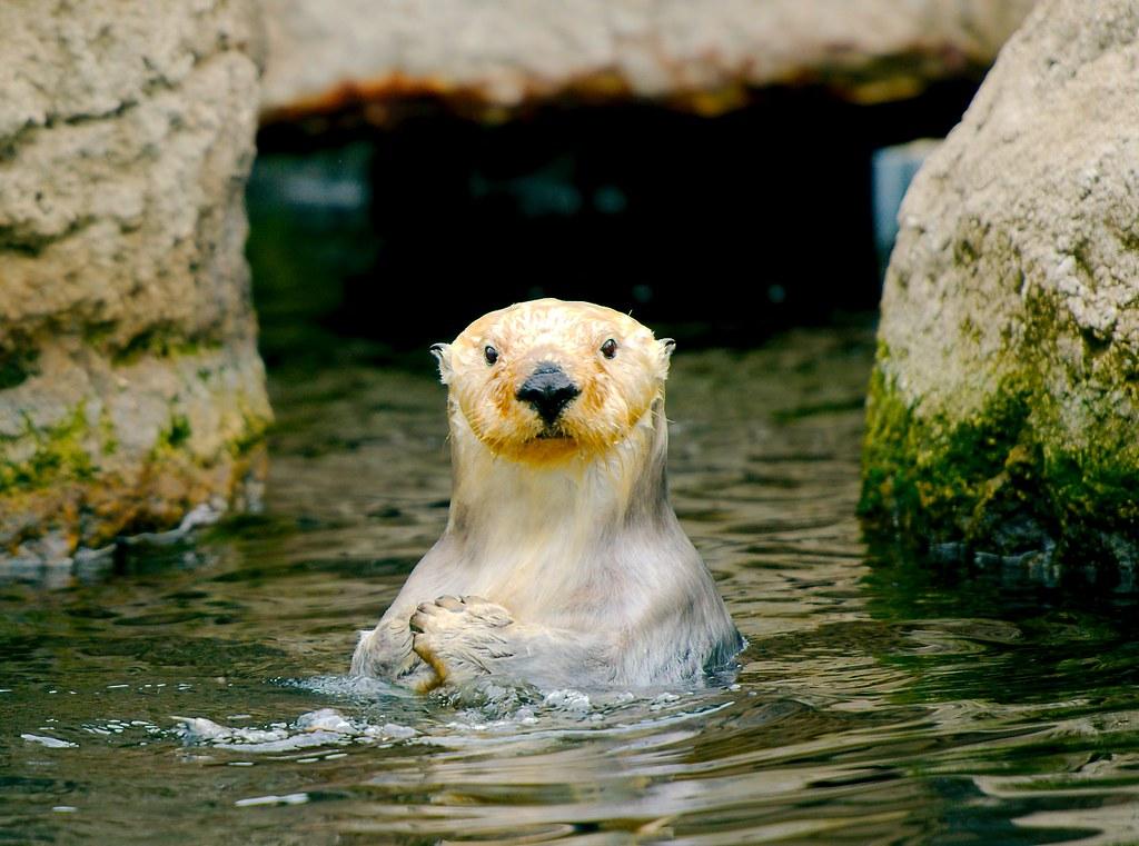 Sea Otter_29