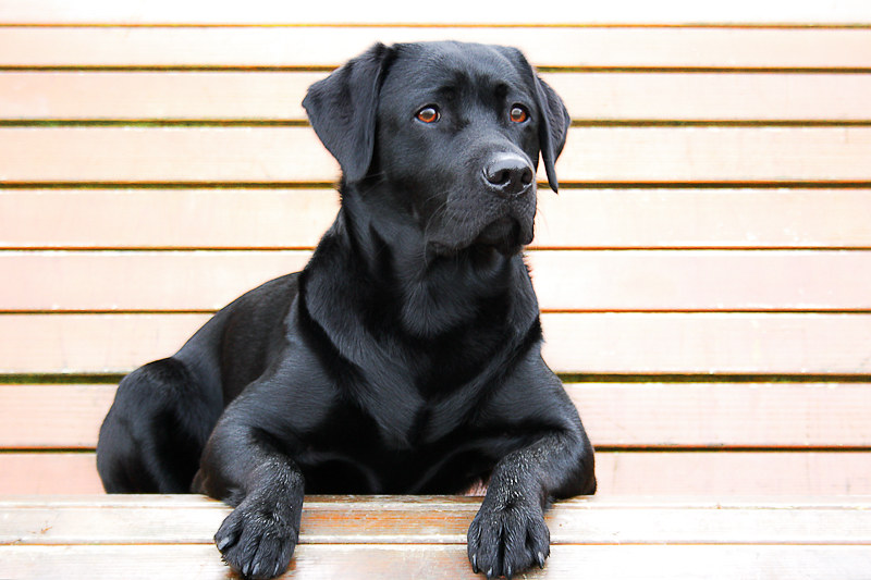 Black Labrador Retriever Lotte Golden Retriever Labrador Flickr