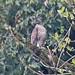 Mountain Hawk-Eagle (Nisaetus nipalensis)