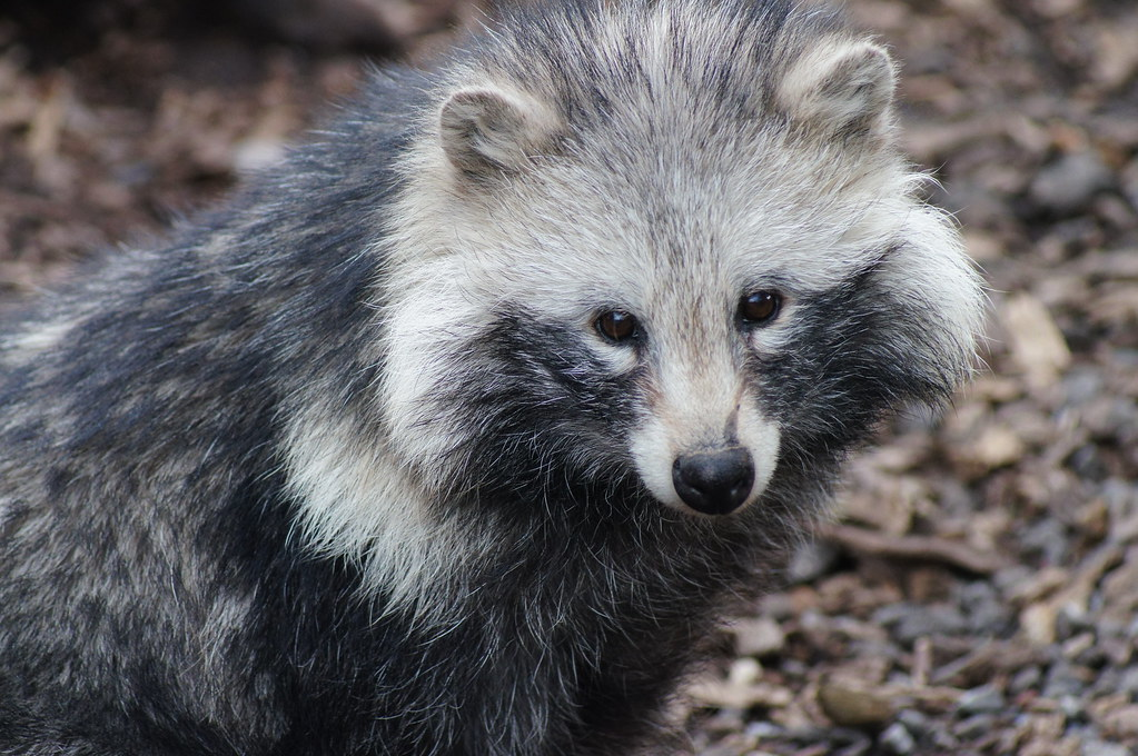 How Raccoon Dogs Are Slaughtered In The Fashion Industry