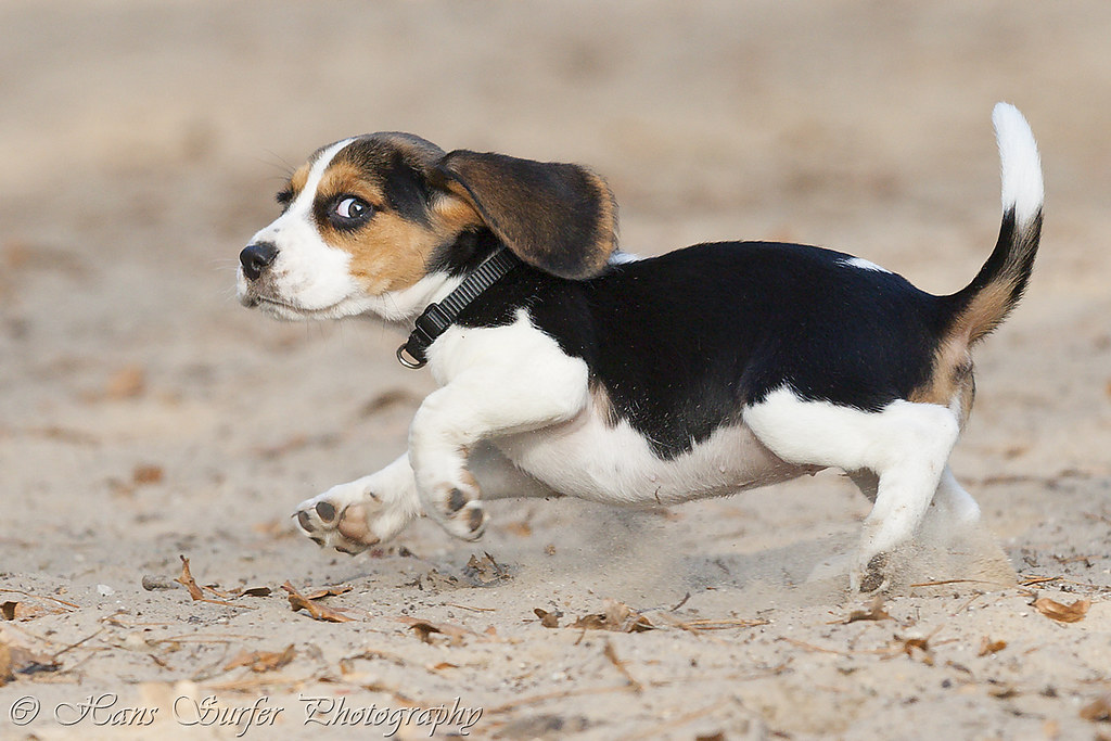 Beagle Running 8 weeks running Beagle...