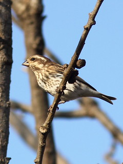 Purple Finch 5-20121025 | by Kenneth Cole Schneider