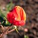 September Rose Bud