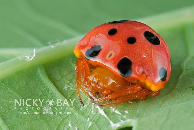 Ladybird Mimic Spider (Paraplectana sp.) - DSC_8866