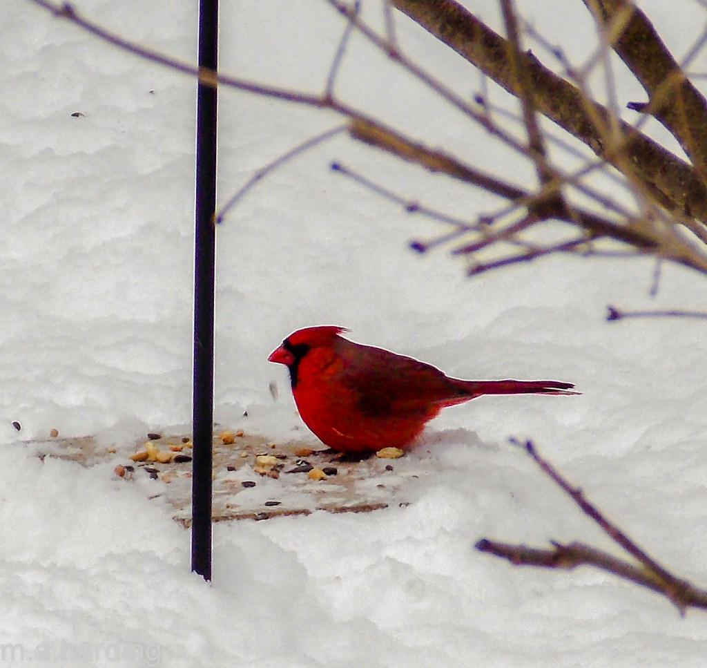 dining alone northern cardinal winona mn maureen flickr