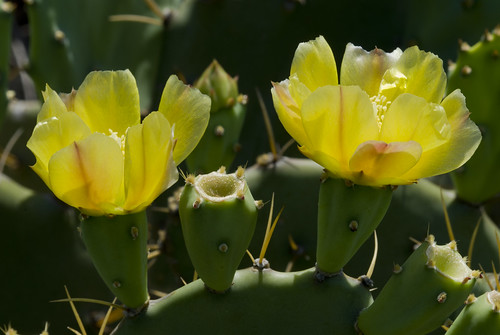 Opuntia stricta (Common pricklypear cactus) | by KeithABradley