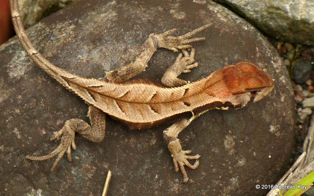 Whorltail iguana, Stenocercus angulifer, Tropiduridae   Flickr