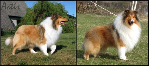 collie miot