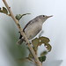 Blue-gray Gnatcatcher 2-20121014