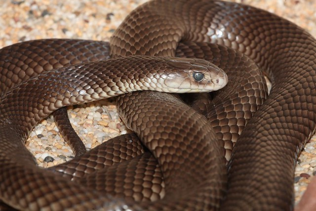 Eastern Brown Snake (Pseudonaja textilis), Alice Springs