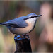 Nuthatch posted