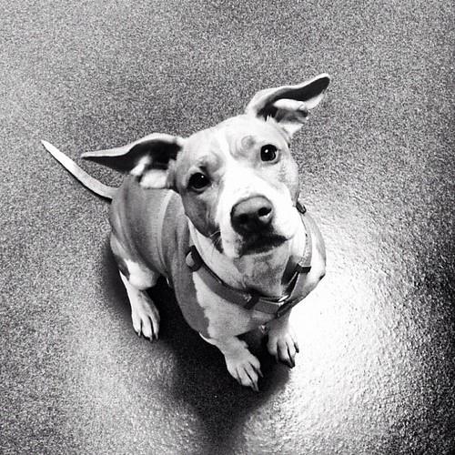 Beagle Dog Adoption Bangalore