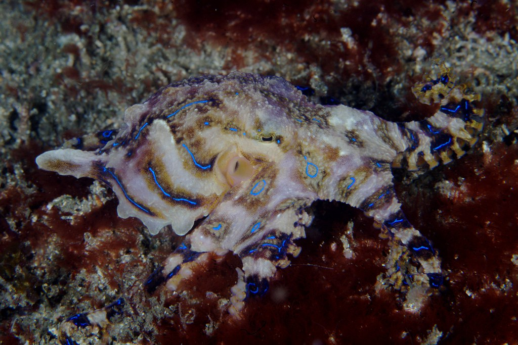 Blue Ring Octopus Article About Animal Nat Geo