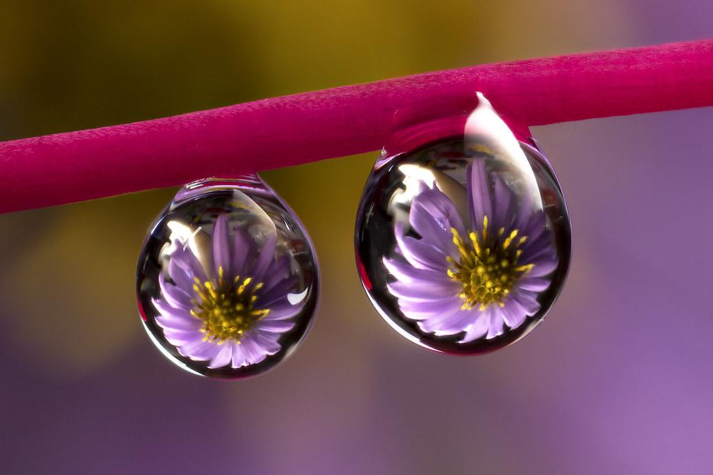 purple daisy water drops refraction murray clarke flickr