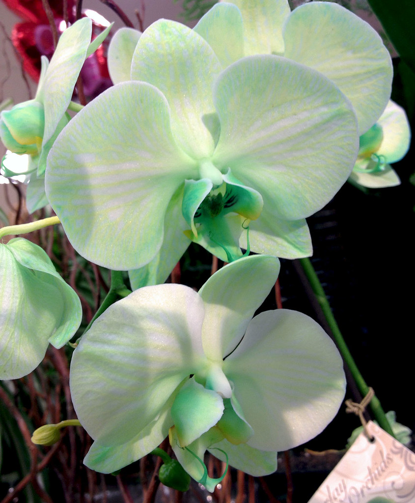 pale green phalaenopsis orchids pale green phalaenopsis or flickr