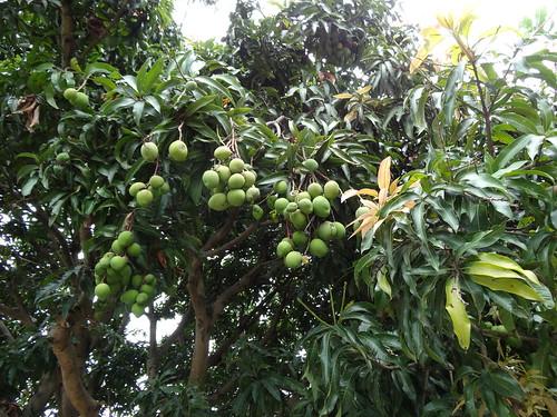 Pics For > Mango Tree Wallpaper