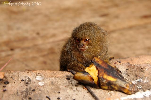 Pygmy marmoset - Iquitos, Peru