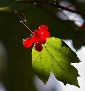 Autumn Berries | by RJT11