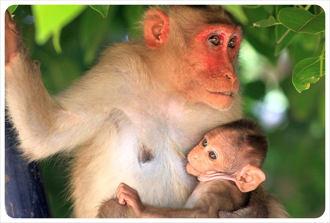 monkey & baby in hampi