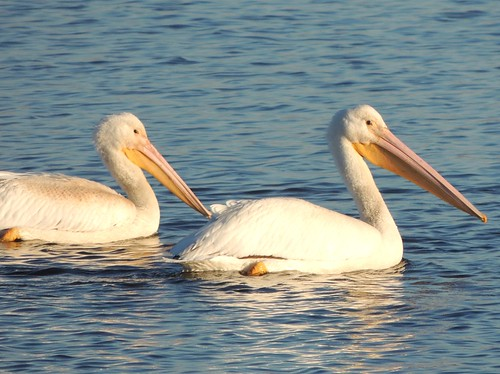 White Pelicans At The Upper Mississippi River National Wil Flickr